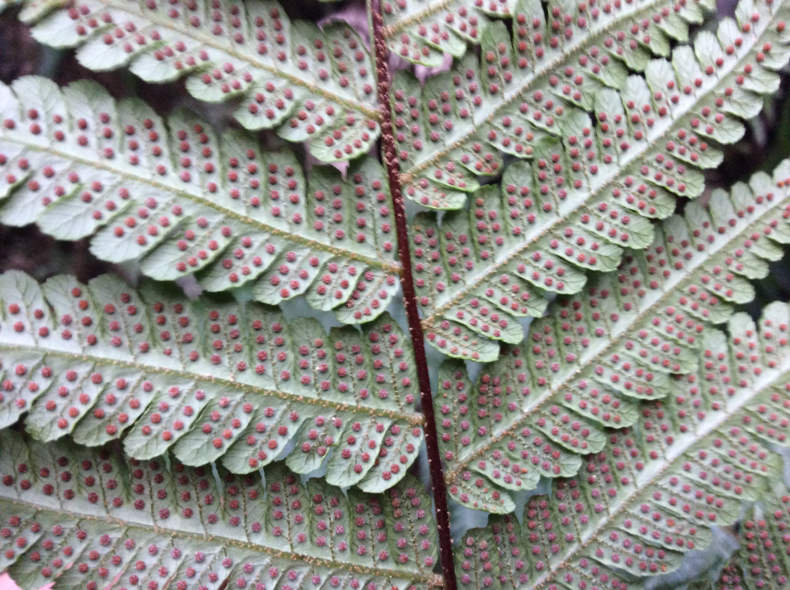 Underside of fern showing seeds